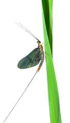 Mayfly 5