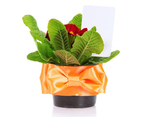 Pot with primula and card