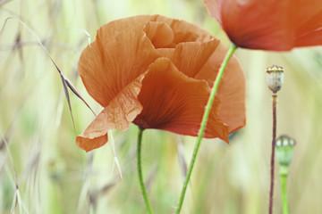 red poppy summer flower detail
