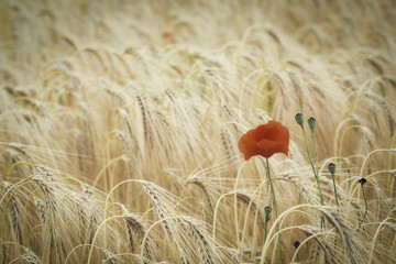 poppy flower in corn field
