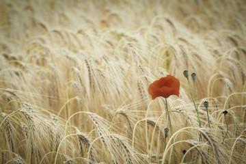 poppy flower in corn field