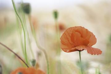 red poppy in Flanders fields