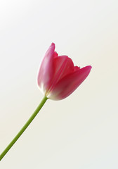 An illustration of a beautiful single tulip. Layered.