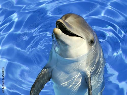Portrait d'un dauphin commun - 66784035