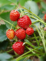Fresh strawberries grow in the garden.