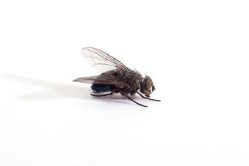 Big fly