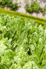 Field of Green Frisee lettuce growing in rows