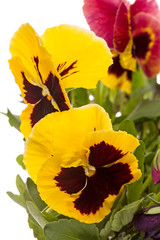 Yellow flower pansy