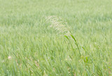 flowering blade of grass outgrowing of a cornfield poster