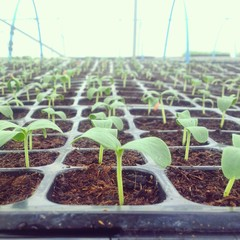 Cucumber seedlings in greenhouse