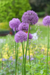 field allium flowers
