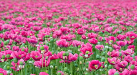 Endless field with pink flowering Papavers