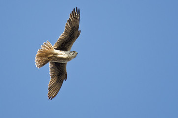Prairie Falcon Hunting on the Wing