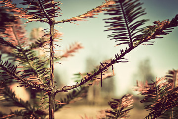 Closeup of a larch branches vintage style colors