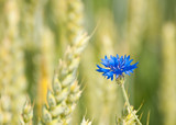 blue cornflower outgrowing from a wheat field poster
