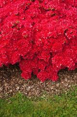 Blütenmeer aus roten Azaleen und Rindenmulch