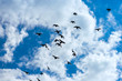 flock of pigeons flying