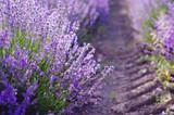 Fototapety Sprigs of Lavender
