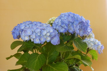 Blue Hydrangea Hortensia bush against yellow background