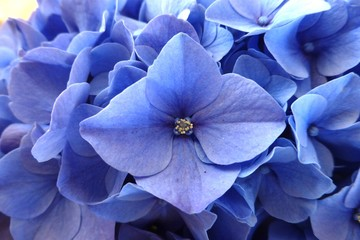 Blue Hydrangea Hortensia flower in closeup