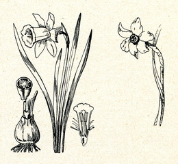 Narcissus pseudonarcissus (left) and N. poeticus (right)