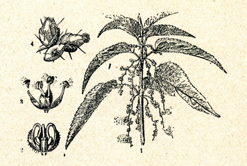 Common nettle (Urtica dioica)