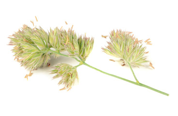 Dactylis Glomerata (Cocks-Foot) Isolated on White Background