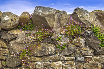 Dry Stone Wall,Blue Sky, Purple Flowers
