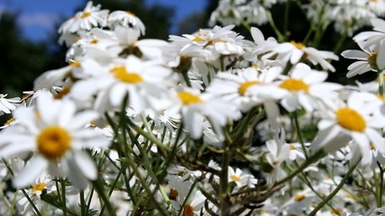 Daisies swaying in the wind