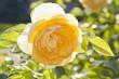 canvas print picture - Gelbe Rose in der Abendsonne