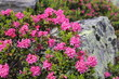 Leinwanddruck Bild - Alpenrose (Rhododendron hirsutum)