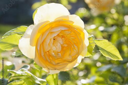 canvas print picture Gelbe Rose in der Abendsonne