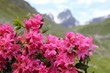 canvas print picture - Alpenrose (Rhododendron hirsutum)