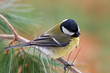 Great tit on a pine tree branch