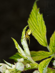 Green Orb-Weaver Spider in raspberry plant - Araniella