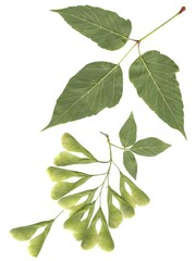 winged seeds and leaf of Box elder tree