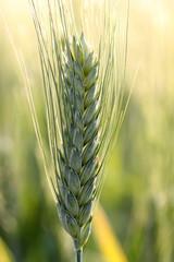 épi de blé dans champ