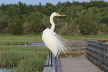 Great Egret on Watch