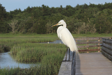 Great Egret on Watch 2