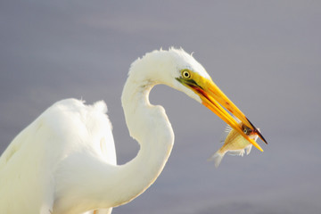 Great Egret Feeding 2