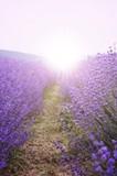 Fototapety Lavender