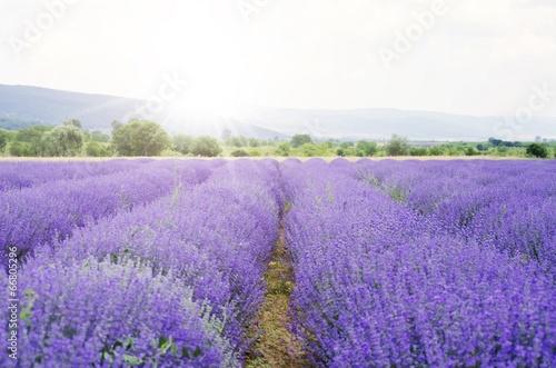 Tuinposter Lavendel Lavender
