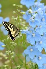 青い花に留まるアゲハチョウ
