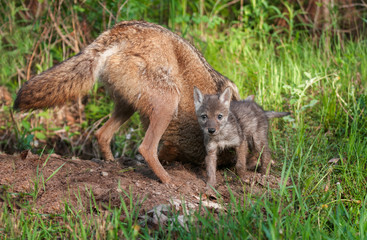 Coyote (Canis latrans) & Pup Outside Den Hole