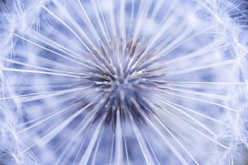 Dandelion seeds © Elenathewise