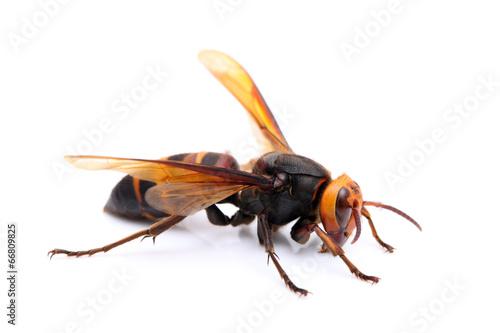 Fotobehang Bee オオスズメバチ