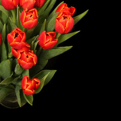 red tulips isolated on black background