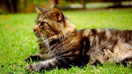 Maine Coon black tabby cat with green eye lying on grass. Macro