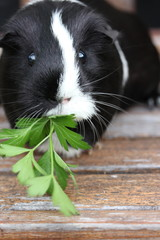 Black and White Guineapig