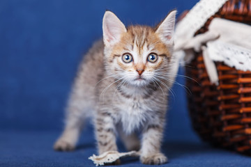 Young kitten stay on blue background